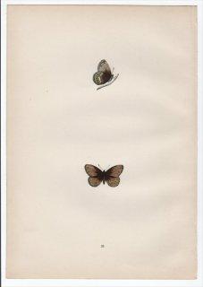 1890年 Morris 英国蝶類史 Pl.25 タテハチョウ科 ヒメヒカゲ属 シロオビヒメヒカゲ SILVER-BORDERED RINGLET