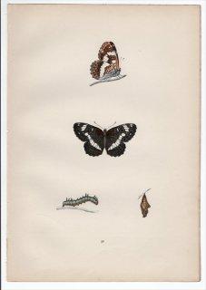 1890年 Morris 英国蝶類史 Pl.26 タテハチョウ科 オオイチモンジ属 イチモンジチョウ WHITE ADMIRAL