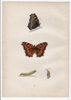1890年 Morris 英国蝶類史 Pl.29 タテハチョウ科 タテハチョウ属 LARGE TORTOISE-SHELL