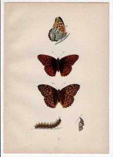 1890年 Morris 英国蝶類史 Pl.53 タテハチョウ科 ミドリヒョウモン属 ミドリヒョウモン SILVER-WASHED FRITILLARY
