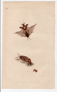 1796年 Donovan 英国の昆虫の自然史 Pl.147 ケラ科 ケラ属 GRYLLUS GRYLLOTALPA