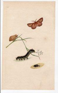 1796年 Donovan 英国の昆虫の自然史 Pl.148 カレハガ科 エウツリクス属 ヨシカレハ PHALAENA POTATORIA