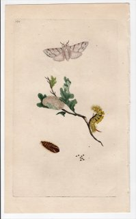 1796年 Donovan 英国の昆虫の自然史 Pl.160 トモエガ科 カリテアラ属 PHALAENA PUDIBUNDA