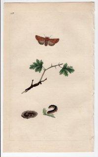 1796年 Donovan 英国の昆虫の自然史 Pl.168 ヤガ科 ミツボシキリガ属 エゾミツボシキリガ PHALAENA SATELLITIA
