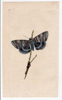 1796年 Donovan 英国の昆虫の自然史 Pl.171 トモエガ科 カトカラ属 ムラサキシタバ PHALAENA FRAXINI