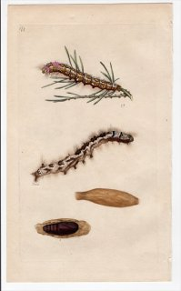 1796年 Donovan 英国の昆虫の自然史 Pl.177 カレハガ科 デンドロリムス属 PHALAENA PINI 幼虫 蛹