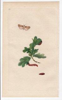 1796年 Donovan 英国の昆虫の自然史 Pl.179 ヤガ科 ディキクラ属 PHALAENA OO