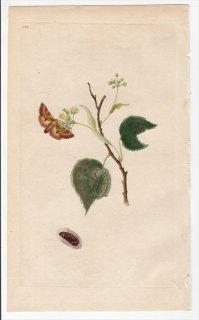 1797年 Donovan 英国の昆虫の自然史 Pl.183 シャチホコガ科 プチロドン属 PHALAENA CAMELINA