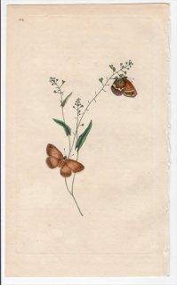 1797年 Donovan 英国の昆虫の自然史 Pl.186 タテハチョウ科 ヒメヒカゲ属 シロオビヒメヒカゲ PAPILIO HERO