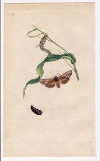 1797年 Donovan 英国の昆虫の自然史 Pl.187 ヤガ科 キシレナ属 PHALAENA EXOLETA