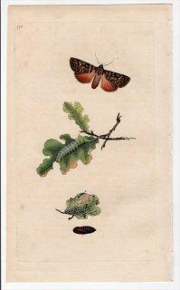 1797年 Donovan 英国の昆虫の自然史 Pl.193 ヤガ科 カラスヨトウ属 PHALAENA PYRAMIDEA