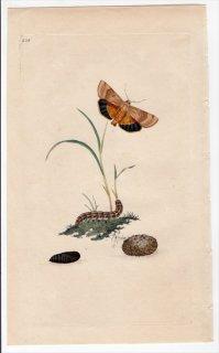 1797年 Donovan 英国の昆虫の自然史 Pl.208 ヤガ科 ノクツア属 PHALAENA FIMBRIA