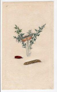 1797年 Donovan 英国の昆虫の自然史 Pl.213 ヤガ科 アクテビア属 ホソアオバヤガ PHALAENA PRAECOX