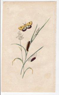 1797年 Donovan 英国の昆虫の自然史 Pl.214 トモエガ科 ディアクリシア属 PHALAENA RUSSULA