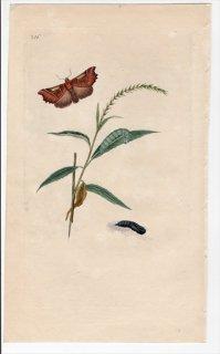 1797年 Donovan 英国の昆虫の自然史 Pl.216 トモエガ科 スコリオプテリクス属 ハガタキリバ PHALAENA LIBATRIX