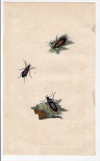1798年 Donovan 英国の昆虫の自然史 Pl.222 オサムシ科 オサムシ属 CARABUS 3種 アカガネオサムシ