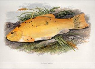 1879年 Houghton 英国の淡水魚類 コイ科 テンチ属 テンチ GOLDEN TENCH