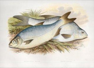1879年 Houghton 英国の淡水魚類 コイ科 アブラミス属 ブリーム ブリッカ属 シルバーブリーム