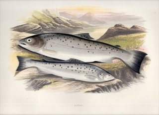 1879年 Houghton 英国の淡水魚類 サケ科 タイセイヨウサケ属 ブラウントラウト SEWEN