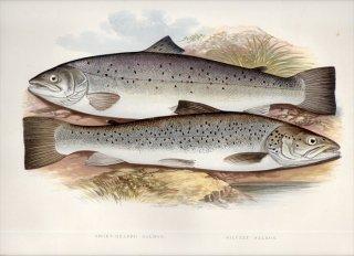 1879年 Houghton 英国の淡水魚類 サケ科 タイセイヨウサケ属 シートラウト Salmo 2種