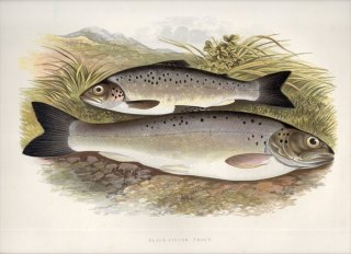 1879年 Houghton 英国の淡水魚類 サケ科 タイセイヨウサケ属 BLACK-FINNED TROUT