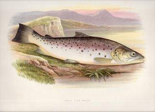 1879年 Houghton 英国の淡水魚類 サケ科 タイセイヨウサケ属 GREAT LAKE TROUT