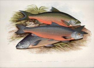 1879年 Houghton 英国の淡水魚類 サケ科 イワナ属 Salvelinus 3種