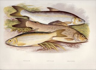 1879年 Houghton 英国の淡水魚類 サケ科 コレゴヌス属 2種 カワヒメマス属 グレイリング