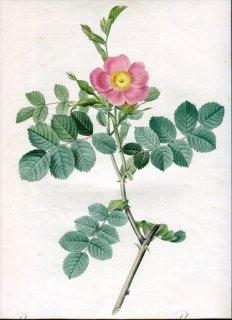 1817年 Redoute バラ図譜 初版 バラ科 バラ属 ロサ・ルビギノサ Rosa Rubiginosa Cretica