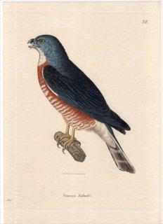 1820年 Temminck 新鳥類図譜 Pl.38 タカ科 ハバシトビ属 ハバシトビ Faucon bidente 成鳥