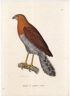 1820年 Temminck 新鳥類図譜 Pl.92 ハヤブサ科 モリハヤブサ属 ヨコジマモリハヤブサ Autour a poitrine rousse 雄 成鳥
