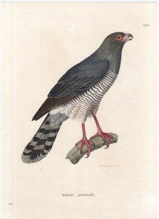 1820年 Temminck 新鳥類図譜 Pl.122 タカ科 ミクロニスス属 カワリウタオオタカ Autour gabaroide 雄 成鳥