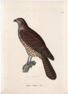 1820年 Temminck 新鳥類図譜 Pl.123 タカ科 エリツロトリオルキス属 アカオオタカ Autour radieux 若鳥
