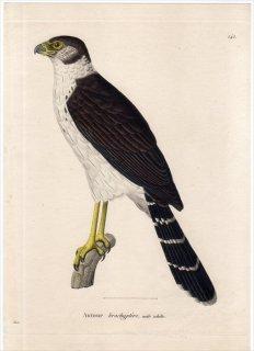 1820年 Temminck 新鳥類図譜 Pl.141 ハヤブサ科 モリハヤブサ属 クビワモリハヤブサ Autour brachyptere 雄 成鳥