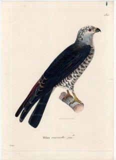 1820年 Temminck 新鳥類図譜 Pl.180 ハヤブサ科 モリハヤブサ属 ハイイロモリハヤブサ Milan cresserelle 若鳥
