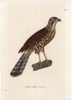 1820年 Temminck 新鳥類図譜 Pl.420 タカ科 ハイタカ属 アフリカオオタカ Autour tachiro 雌 若鳥