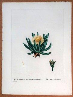 1799年 Candolle 多肉植物図譜 ハマミズナ科 キリンドロフィルム属 MESEMBRYANTHEMUM calamiforme