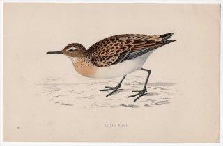 1888年 Morris 英国鳥類史 小型版 シギ科 オバシギ属 ヨーロッパトウネン LITTLE STINT