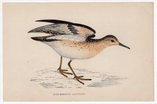1888年 Morris 英国鳥類史 小型版 シギ科 コモンシギ属 コモンシギ BUFF-BREASTED SANDPIPER