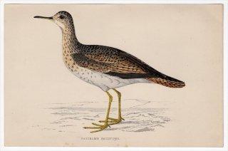 1888年 Morris 英国鳥類史 小型版 シギ科 マキバシギ属 マキバシギ BARTRAM'S SANDPIPER
