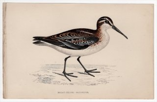1888年 Morris 英国鳥類史 小型版 シギ科 キリアイ属 キリアイ BROAD-BILLED SANDPIPER