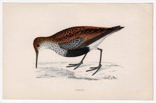 1888年 Morris 英国鳥類史 小型版 シギ科 オバシギ属 ハマシギ DUNLIN
