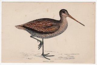 1888年 Morris 英国鳥類史 小型版 シギ科 タシギ属 タシギ SABINE'S SNIPE