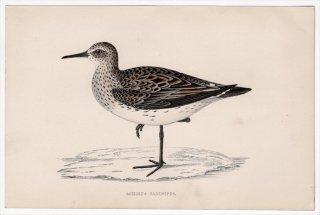 1888年 Morris 英国鳥類史 小型版 シギ科 オバシギ属 コシジロウズラシギ SCHINZ'S SANDPIPER