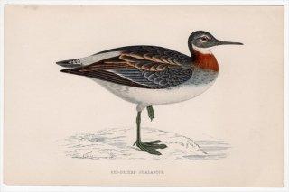 1888年 Morris 英国鳥類史 小型版 シギ科 ヒレアシシギ属 アカエリヒレアシシギ RED-NECKED PHALAROPE