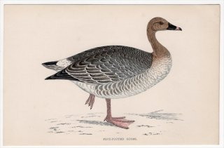 1888年 Morris 英国鳥類史 小型版 カモ科 マガン属 コザクラバシガン PINK-FOOTED GOOSE