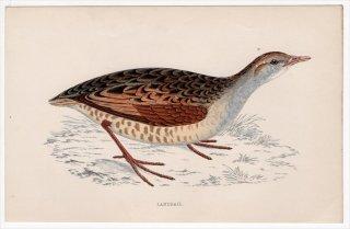 1888年 Morris 英国鳥類史 小型版 クイナ科 ウズラクイナ属 ウズラクイナ LANDRAIL