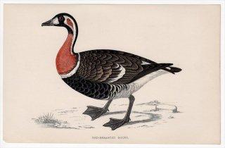1888年 Morris 英国鳥類史 小型版 カモ科 コクガン属 アオガン RED-BREASTED GOOSE