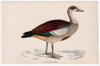 1888年 Morris 英国鳥類史 小型版 カモ科 エジプトガン属 エジプトガン EGYPTIAN GOOSE