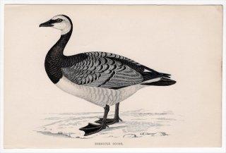 1888年 Morris 英国鳥類史 小型版 カモ科 コクガン属 カオジロガン BERNICLE GOOSE